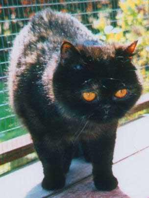 Exotic Shorthair Cat - Int GrCh Suzerain Gizelle