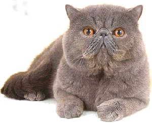 Exotic Cat (Shorthair)
